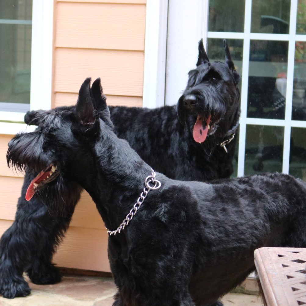 T'challa_and_Nakia_Giant_Schnauzer_Dogs